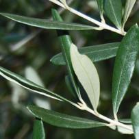 Zbliżenie na skład herbatki Gonseen – liść oliwki europejskiej