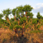 Zbliżenie na skład Gonseen – Ostrokrzew Paragwajski czyli yerba mate